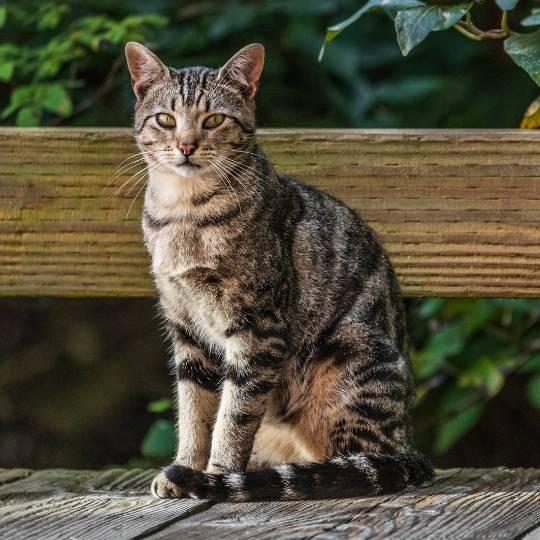 gato California Spangled