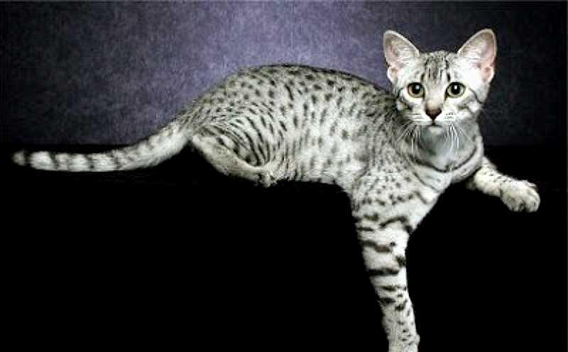 gato california spangled plateado o silv