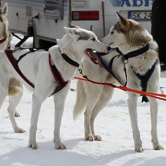 Perros nórdicos arneses
