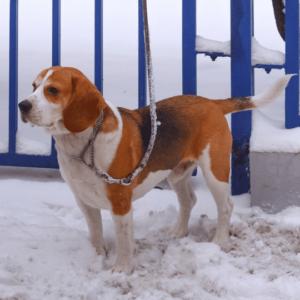 Beagle Harrier en la nieve