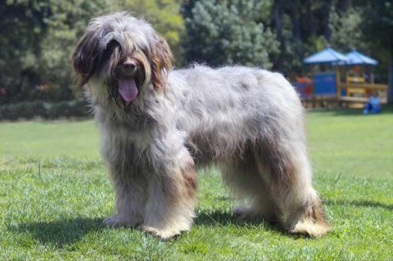 Cão da Serra de Aires color gris