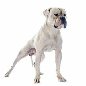 bulldog americano