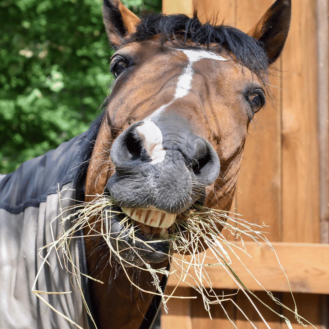 caballo comiendo paja