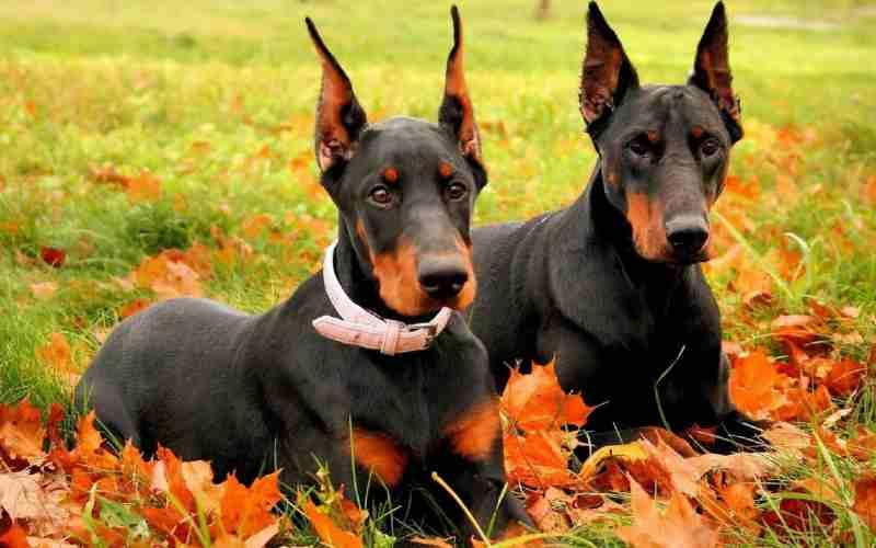 doberman perros