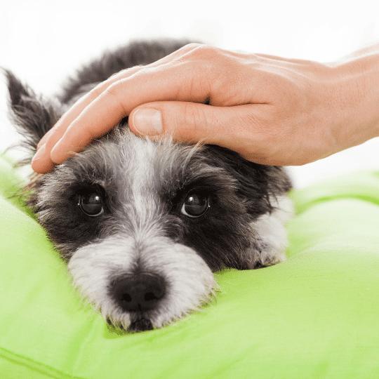 hepatitis canina. perrito enfermo
