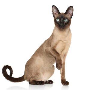 gato oriental raza