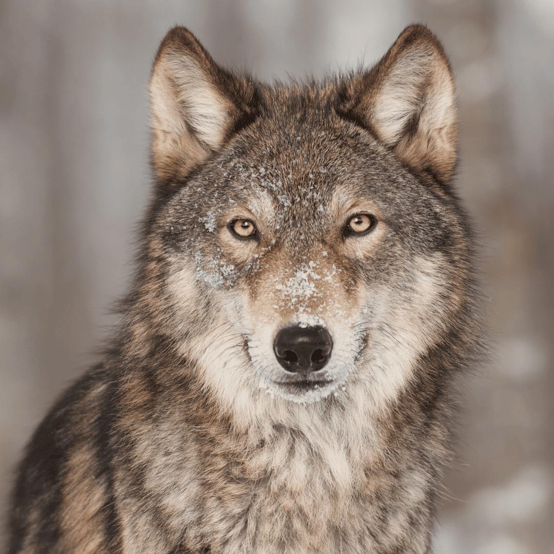 lobo gris de frente