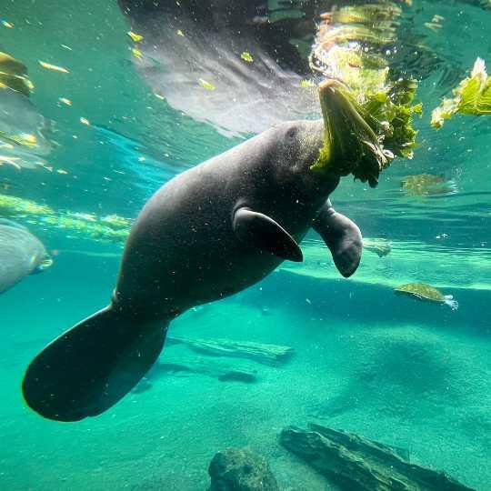 manatí comiendo plantas en el agua