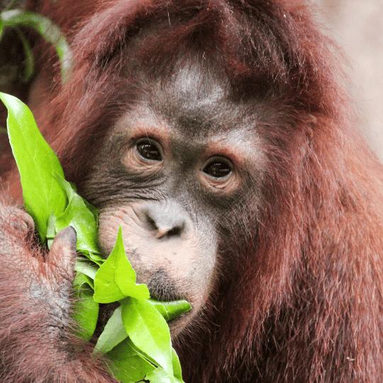 orangutan comiendo hojas verdes