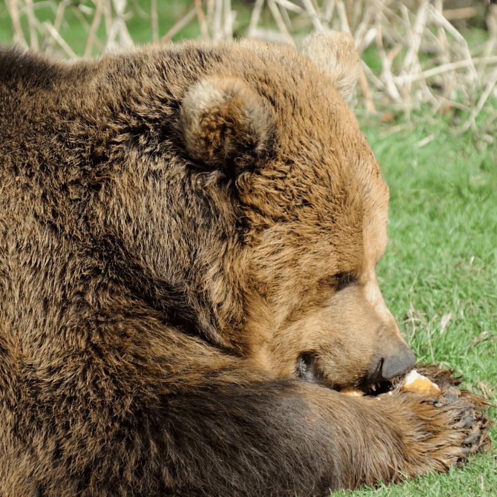 oso comiendo en la hierva