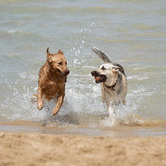 Playas para perros. Perros jugando en el mar