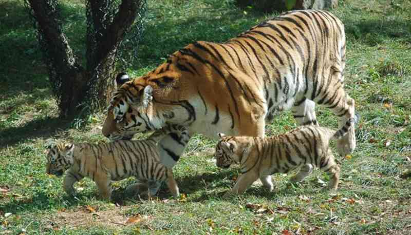 que comen tigres cachorros