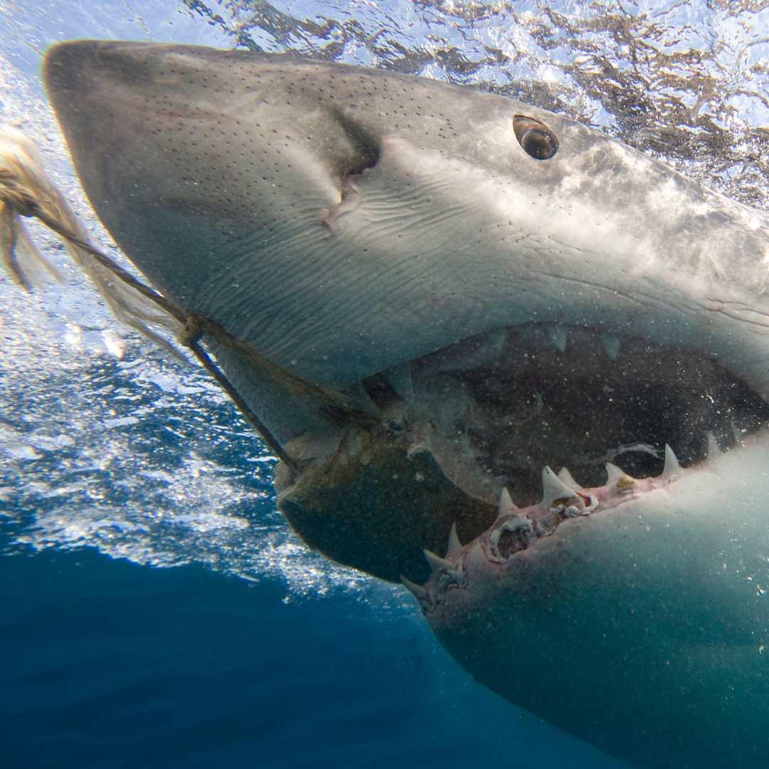 tiburón comiendo