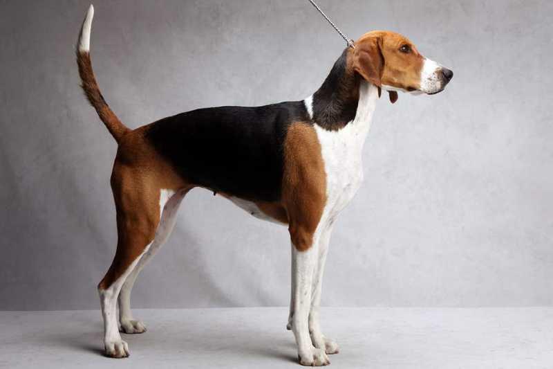 estándar de la raza American Foxhound