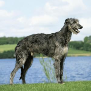 Deerhound en la hierba y con agua de fondo
