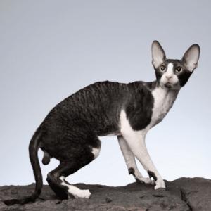 gato cornish rex