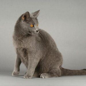 gato Chartreux gris