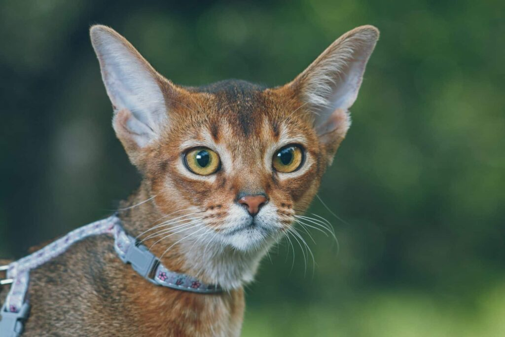 gato abisinio con arnés
