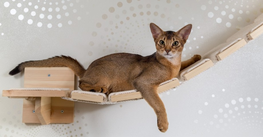 abisinio gato trepado