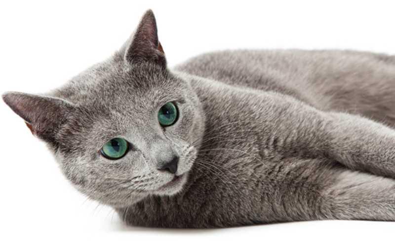 azul ruso gato