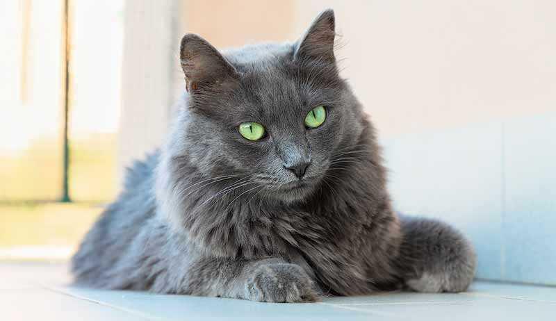 gato azul pelo largo o nebelung
