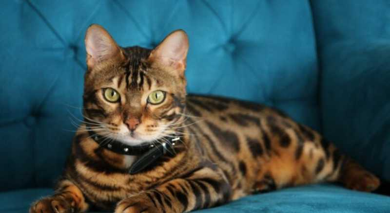 Bengala (gato)