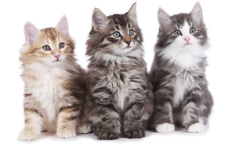 gatitos bosque de noruega bebé