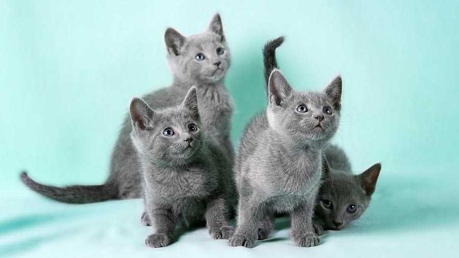 cachorros de gato azul ruso