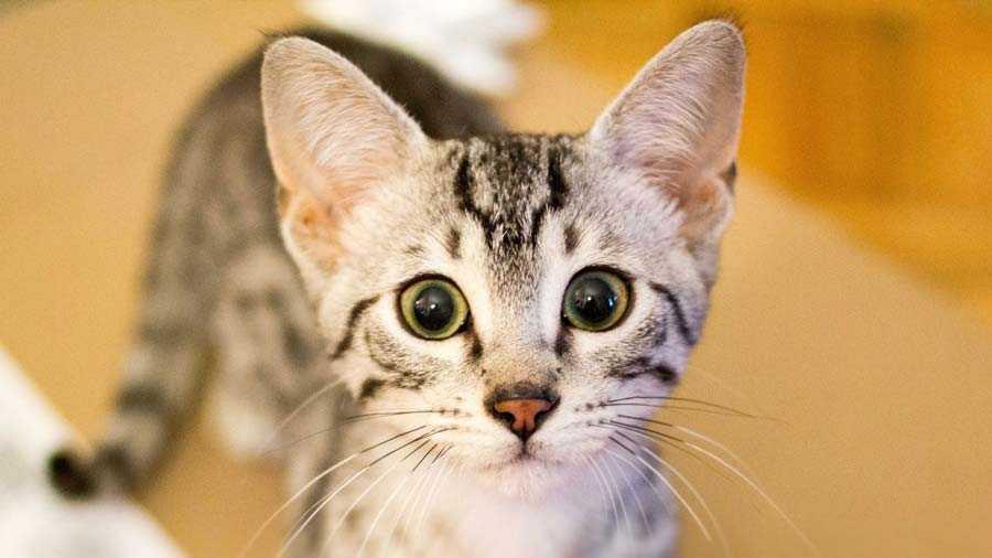 cara de cachorro de gato egipcio de frente