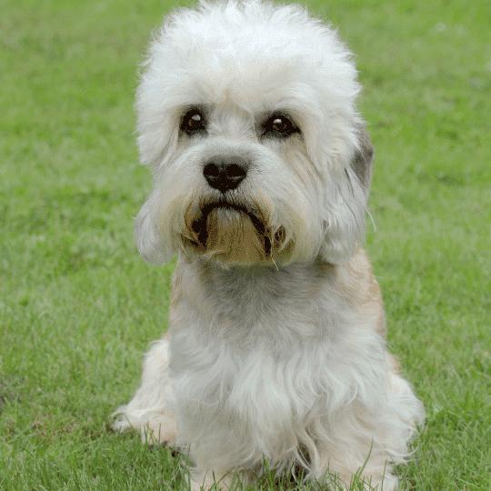 dandie dinmont terrier en la hierva de frente y sentado