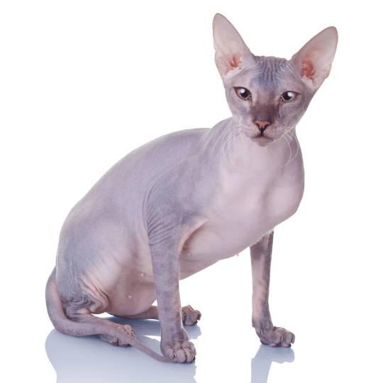 Don Sphynx gato