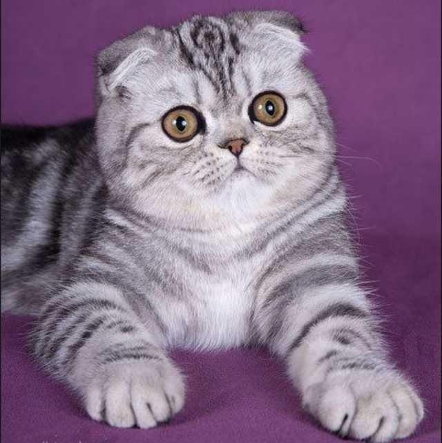 Foldex gato