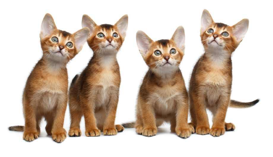 gatitos abisinios cachorros