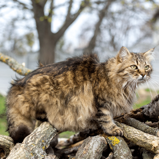 gato Siberiano sobre troncos