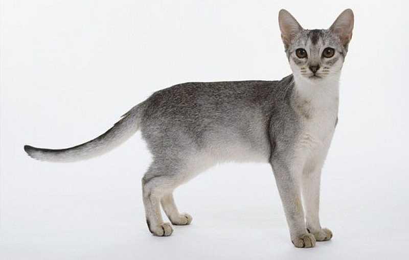 gato abisinio blanco y gris plateado