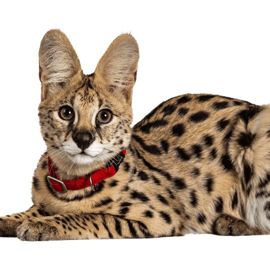 raza de gato africano doméstico