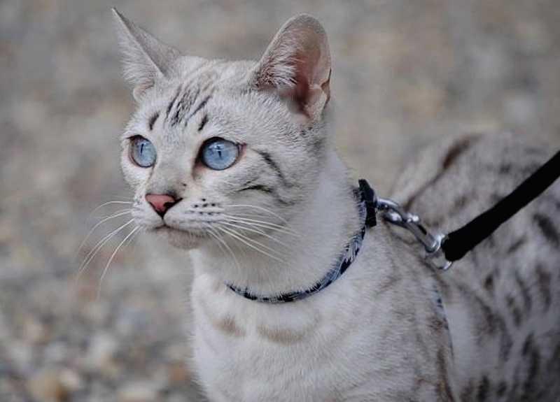 gato bengalí plateado silver