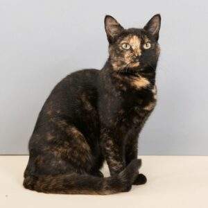 gato carey negro