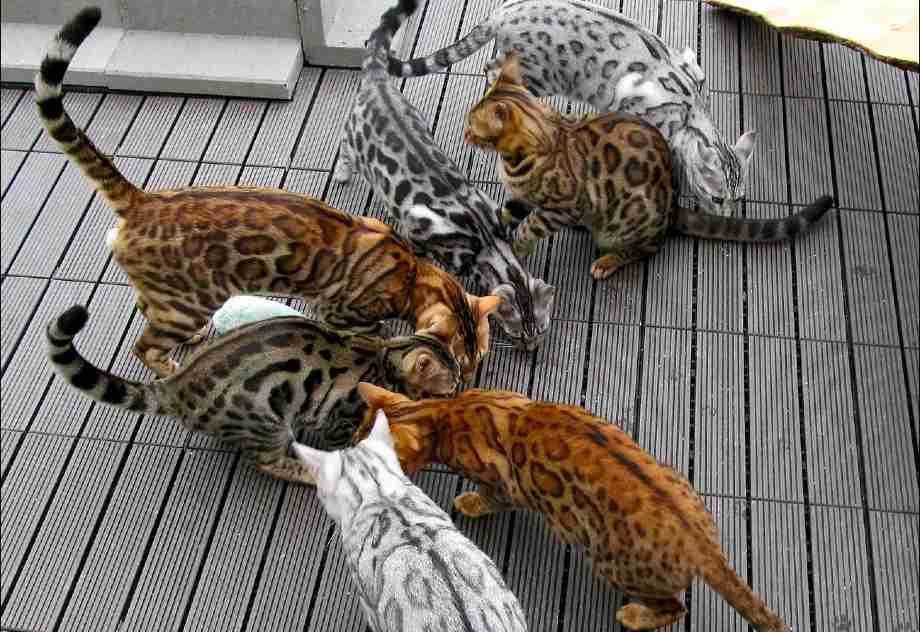 patrón colores del gato de Bengala