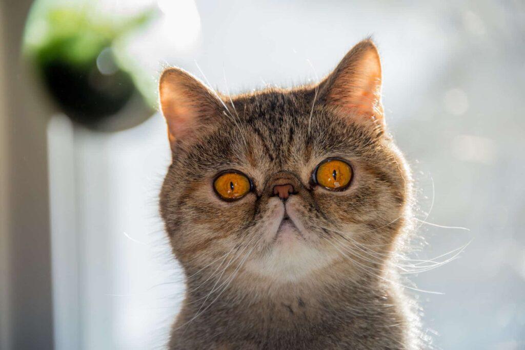 gato exotic shorthair