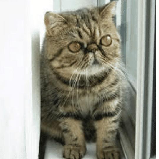 gato foldex atigrado