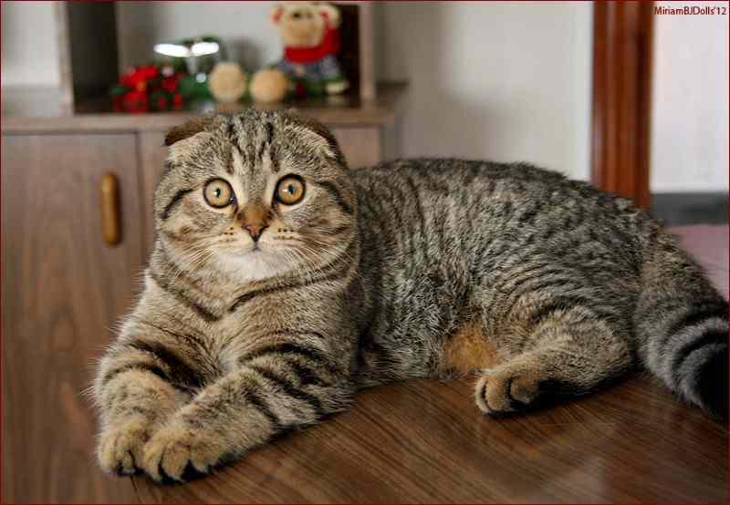 gato Foldex adulto