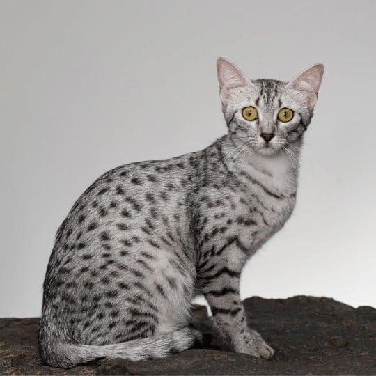 gato mau egipcio