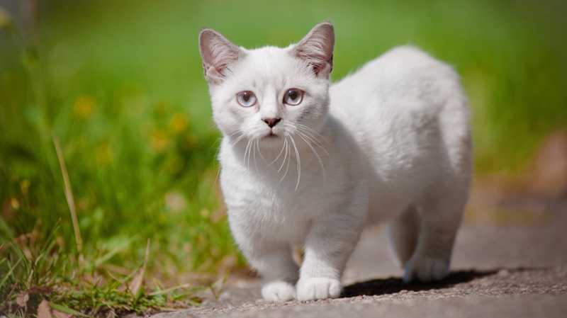 gato Munchkin color blanco