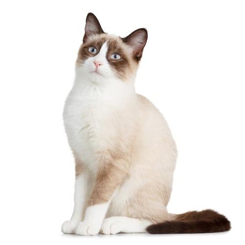 Snowshoe gato