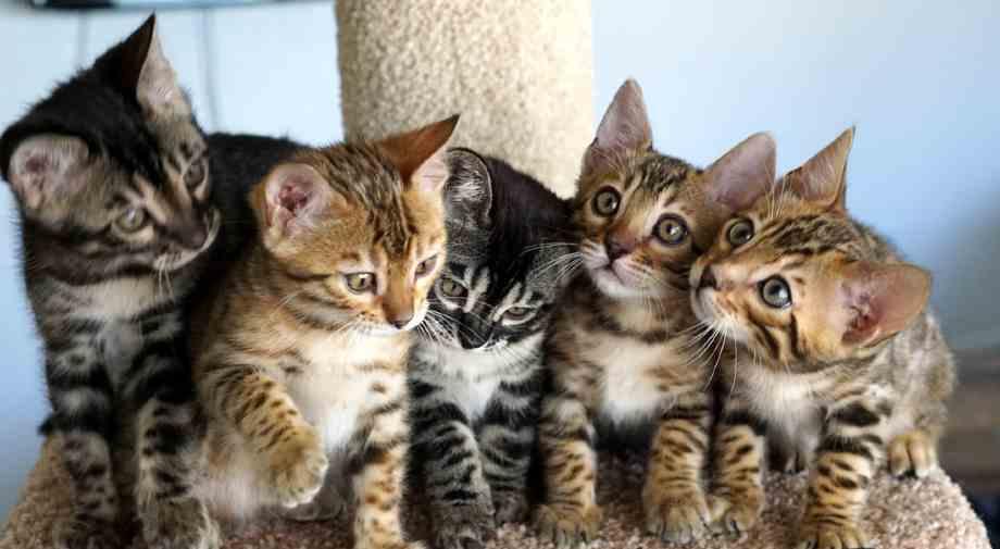 gatos de Bengala cachorros