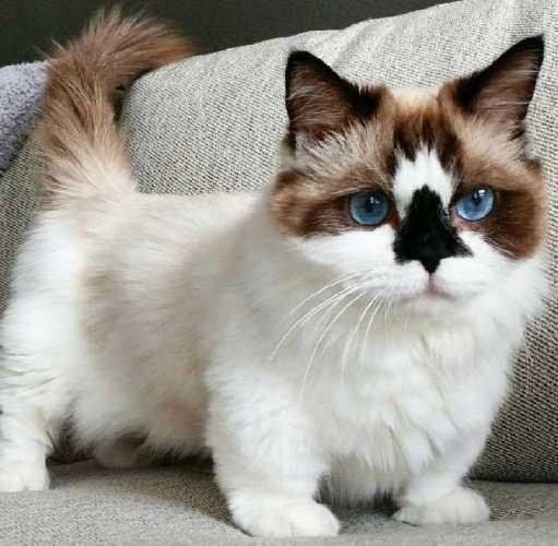 gato munchkin con los ojos azules