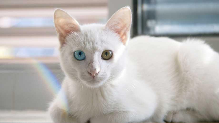 khao manee raza de gato