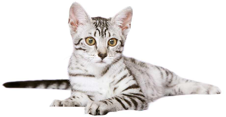Mau Egipcio gato