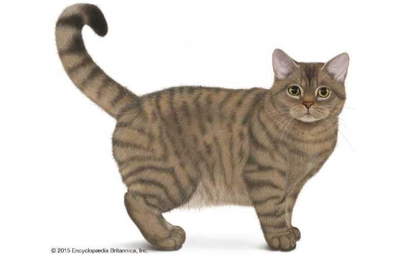 gato american wirehair precio